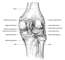 Ligaments of the knee joint (Posterior view)