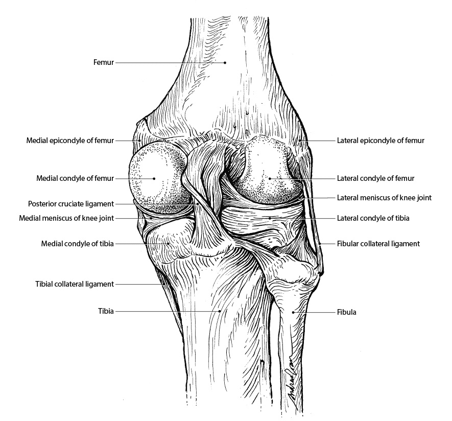 Ligaments of the knee joint (Posterior view) by thelastmiracle on ...