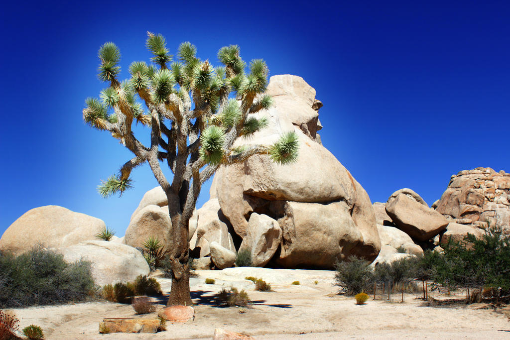 A Joshua tree in Joshua Tree National Park