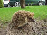 Hedgehog Stock