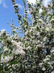 Blooming Apple Tree Stock