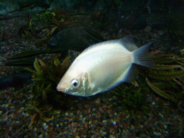Kissing gourami fish stock by kinhiae on deviantart for Kissing gourami fish