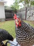 Chicken head 6