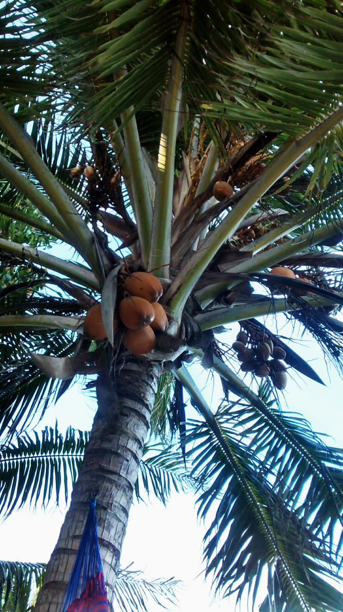 coconut tree by jammer683252