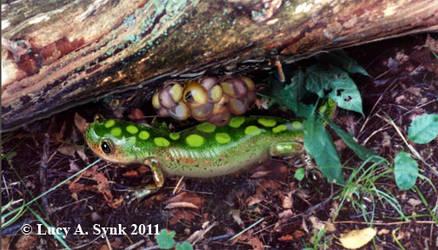 Salamander with Eggs