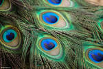 Peacock Feathers 2 by MegnRox15