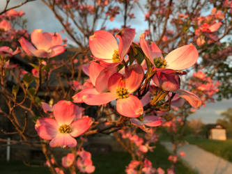 Pink Dogwood Tree In Sunset by MegnRox15