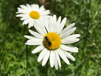 Daisies And A Bug by MegnRox15