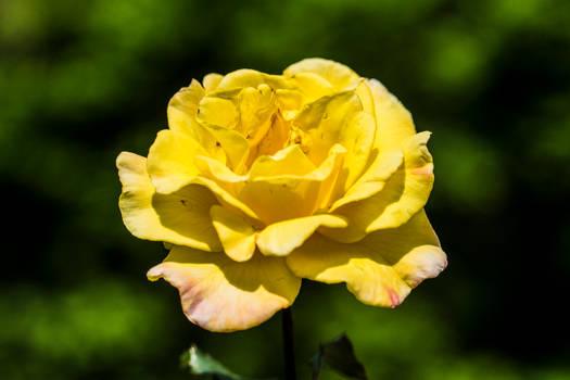 Yellow Rose 2019