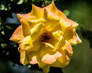 Yellow Rose 2 2019