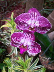 Phalenopsis Orchids 2