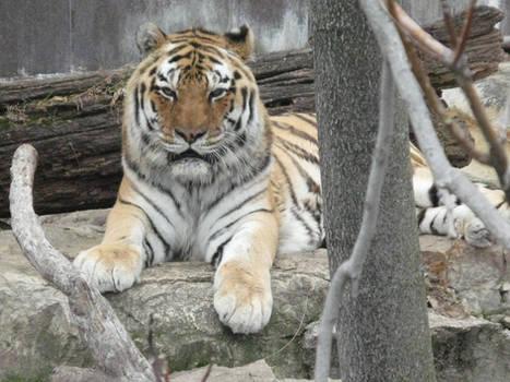 Unamused Tiger