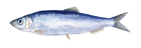 Atlantic herring (Clupea harengus) by hendrikgheerardyn