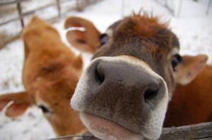 Cows in Snow by randylavorante