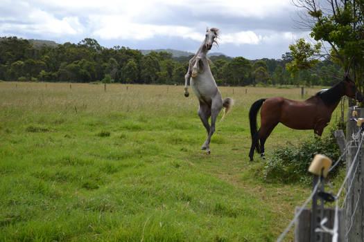 Grey Arabian9