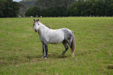 Grey Pony by Tobiteus