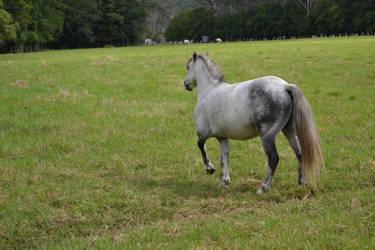 Grey Pony 3 by Tobiteus