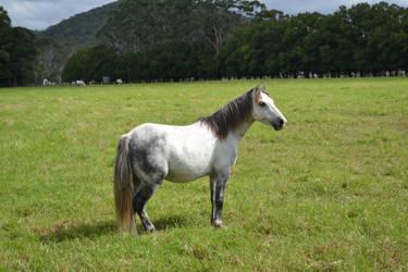 Grey Pony 4 by Tobiteus