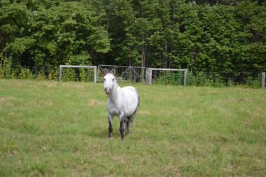 Grey Pony 5 by Tobiteus