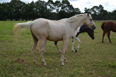 Palomino youngin by Tobiteus