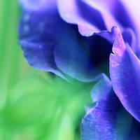 Fragrance of Violet