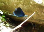 Blue Damselfly Taking Flight