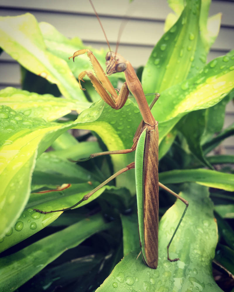 Mantis Ninja