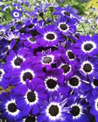 Purple and Black  by artemis09337