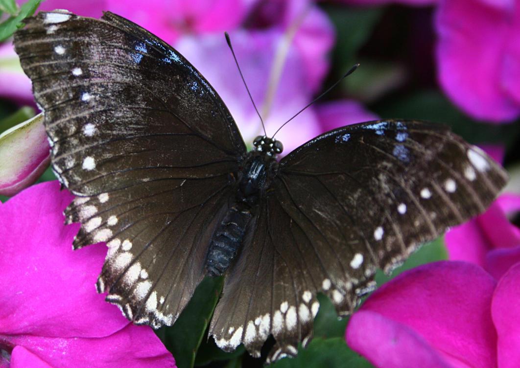 Butterfly 4 by AttempteStock