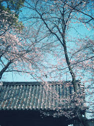 CherryBlossoms and TempleGate