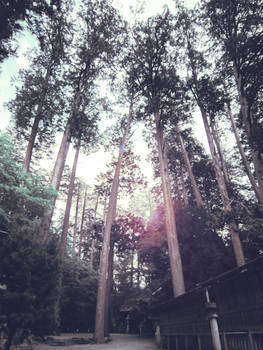 Cedar trees of the shrine