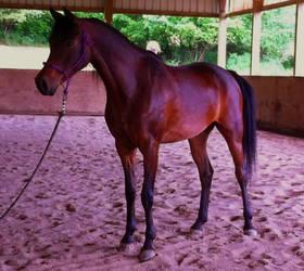 Stock - Arabian Horse - Sienna