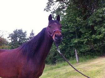 Horse Stock - Arabian horse- Sienna Head shot