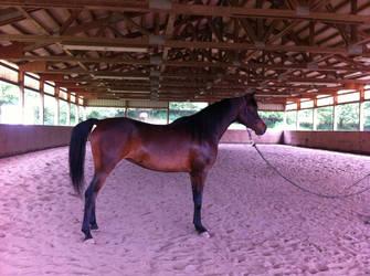 Horse Stock - Arabian horse- Sienna 2