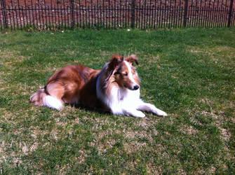 Dog Stock- Sheltie In Sun- Pennie