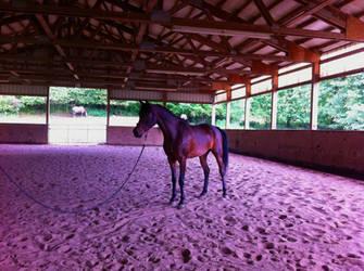 Horse Stock - Arabian horse Sienna (duplicate)