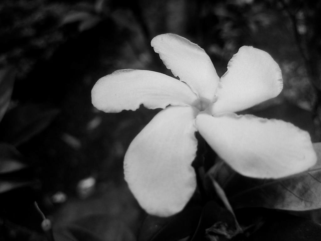 A White Flower by Lvaut14