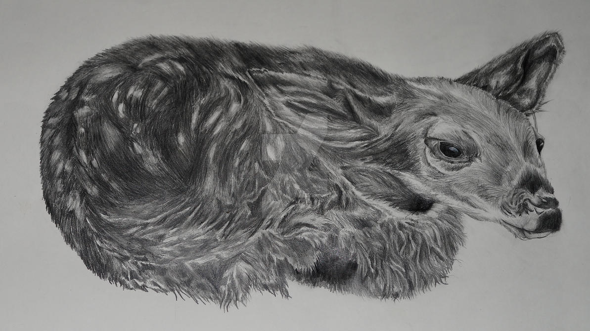 the resting fawn pencil sketch by adam the person
