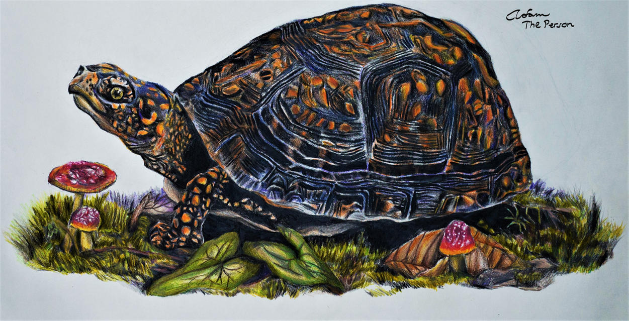 not actually painted turtle colored pencil by adam the person on