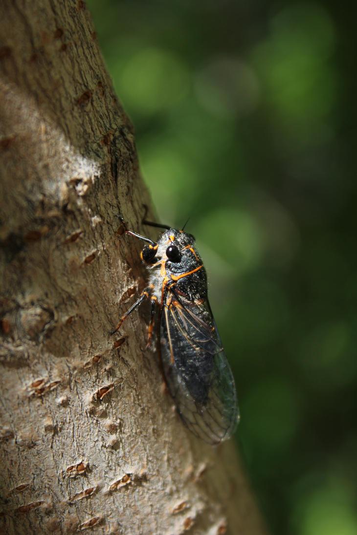 Mountain Cicada by MStout