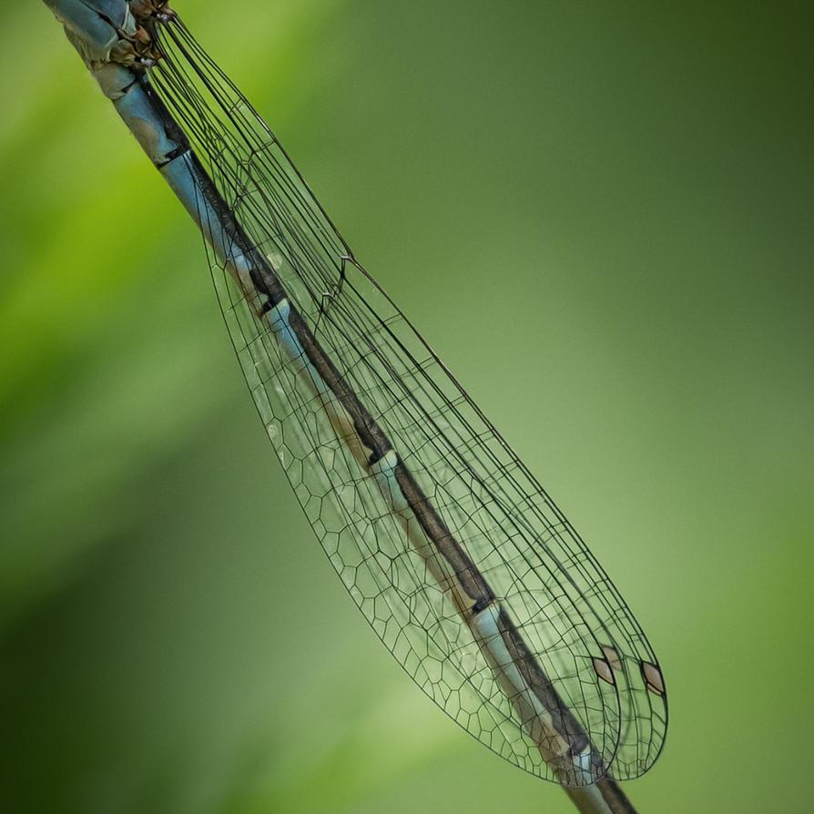 Damsel Wings by MStout
