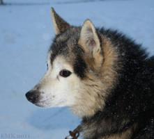 Zorro the Siberian Husky by Elkenar