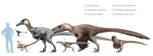Dromaeosauridae size chart for Wikipedia