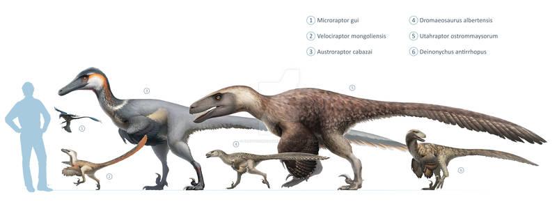 Dromaeosauridae size chart for Wikipedia