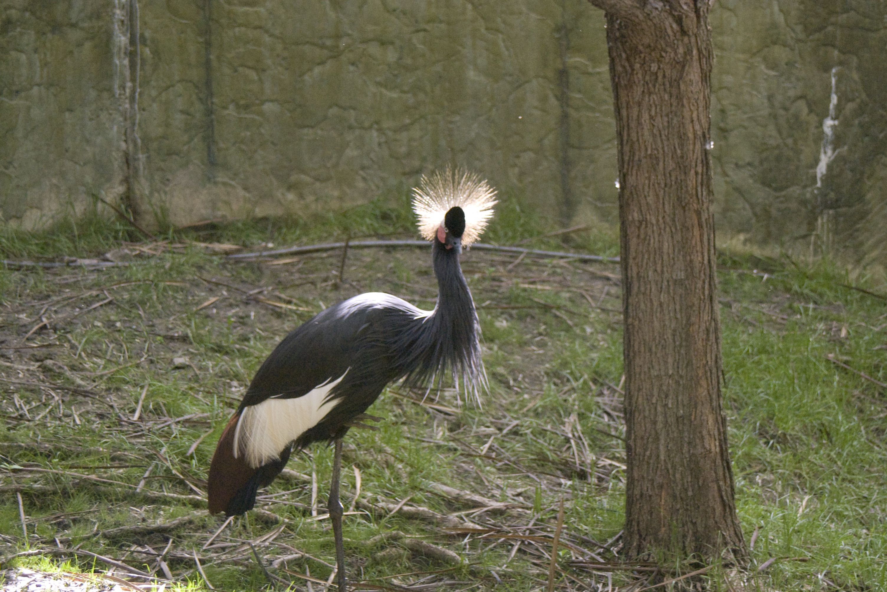 how to draw a crested crane
