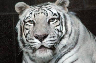 White tiger looking at u