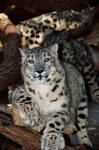 three little leopards