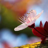 Cherry blossom by 0paline