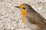 Robin III