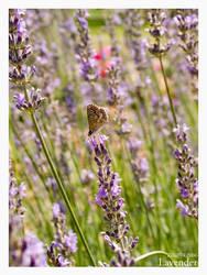 Lavender by zilla774